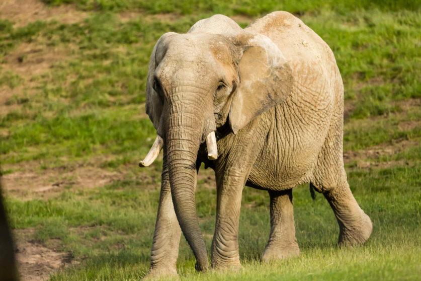 Elefant im Opel-Zoo