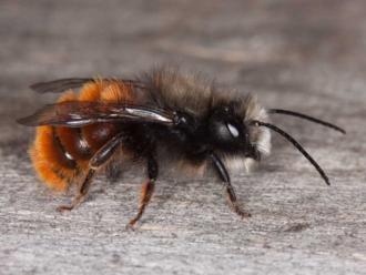 wildbiene-gehoernte-mauerbiene