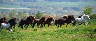 hirtenhof-islandpferde-meisterschaft